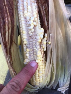 Ears of corn that were under water over 24 hours quickly begin to rot. photo by Greg Drake II