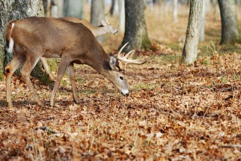 Summer is an excellent time to plant a patch of clover on your property for deer to use this fall. Secluded wood openings make productive places to plant a clover plot.